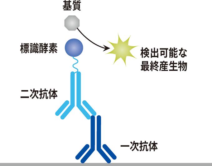 抗体の選び方と濃度検討のポイン...
