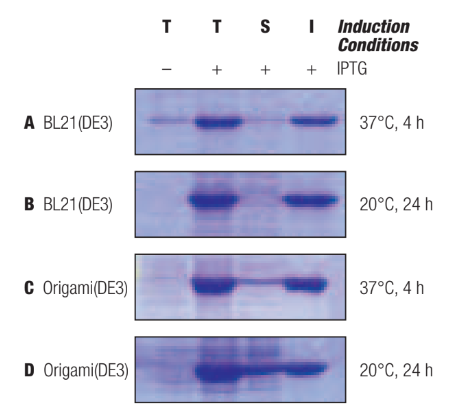 Bacterial strains for protein expression   418x453